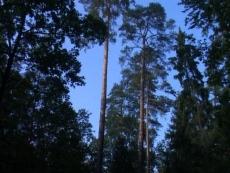 Rezerwat przyrody Sosny Taborskie
