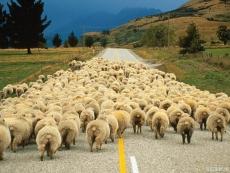REDYK – Tradycyjny przepęd owiec po okolicznych halach